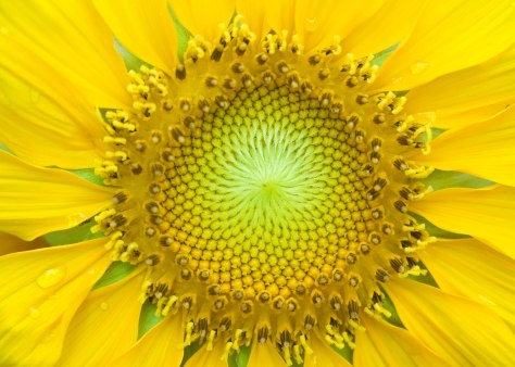 This is a sunflower that inspired a thermo-solar plant.